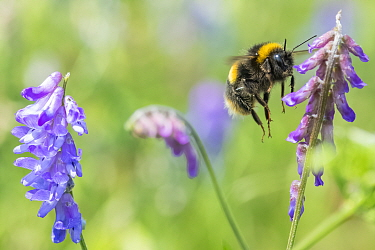 Forest cuckoo bumblebee (Bombus sylvestris), visiting Tufted vetch (Vicia cracca), in a wildflower meadow. Monmouthshire, Wales, UK.