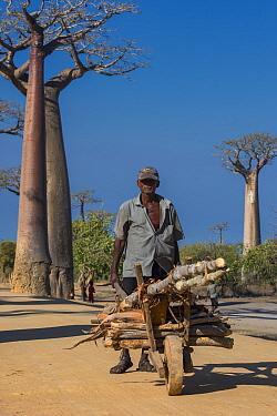 Man wheeling barrow with wood with Grandidier's baobab (Adansonia grandidieri) trees, Baobab Alley, Near Morondava, Southwestern Madagascar. October 2018.
