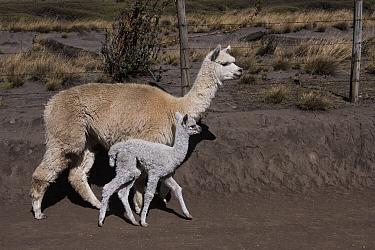 Alpaca (Vicugna pacos) mother and baby, Pulingue San Pablo community, Chimborazo Province, Andes, Ecuador. August 2016.