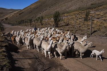 Alpacas (Vicugna pacos) going to pasture, Pulingue San Pablo community, Chimborazo Province, Andes, Ecuador. August 2016.