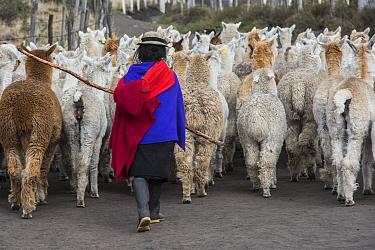Local Quichua Indigenous herding alpaca (Vicugna pacos), Domestic herd, near Chimborazo, Ecuador. November 2017.