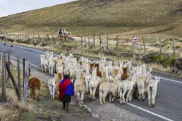 Local Quichua man herding alpaca (Vicugna pacos), near Chimborazo, Ecuador. November 2017.