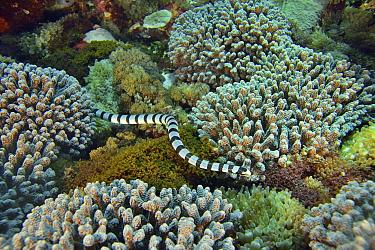 Banded sea snake / banded sea krait (Laticauda colubrina) on the reef, Indonesia, Sea of Flores