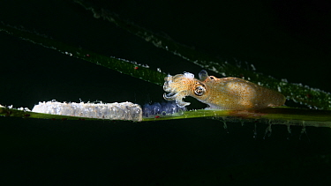 Female Northern pygmy squid (Idiosepius paradoxus) depositing eggs on a blade of eelgrass (Zostera marina), next to a white mass of eggs laid previously, Yamaguchi Prefecture, Japan.