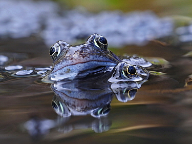 Common frogs (Rana temporaria) male frogs clambering round among spawn in garden pond, Hertfordshire, England, UK, March.
