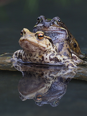 Common frog (Rana temporaria) in amplexus with Common European toad (Bufo bufo), male frogs do sometimes get confused and attempt to mate with anything that moves in the pond, Hertfordshire, England,...