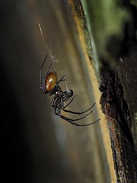 Cave Spider (Meta menardi) in web on wall of underground air raid shelter tunnel feeding, Hertfordshire, England, UK. February, .
