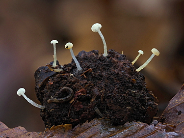 Oak Pin fungi (Cudoniella) around 3-4mm tall, usually found on decaying oak, Hertfordshire, England, UK, March Focus Stacked.