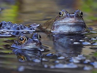 Common frogs (Rana temporaria) male frogs waiting for females among spawn in garden pond, Hertfordshire, England, UK, March.