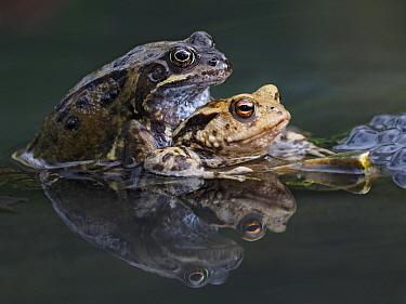 Common frog in amplexus with Toad (Rana temporaria / Bufo bufo) male frogs do sometimes get confused and attempt to mate with anything moving in pond. Hertfordshire, England, UK, March Focus Stacked.