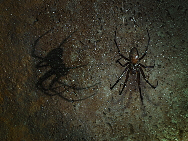 Cave spider (Meta menardi) in web on wall of underground air raid shelter tunnels, Hertfordshire, England, UK. February, .