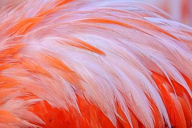 Caribbean flamingo (Phoenicopterus ruber) feather, Ria Lagartos Biosphere Reserve, Yucatan Peninsula, Mexico, June
