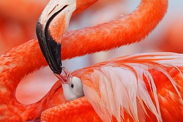 Caribbean flamingo (Phoenicopterus ruber) feeding crop milk to chick , Ria Lagartos Biosphere Reserve, Yucatan Peninsula, Mexico, June