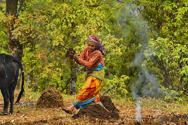 Village woman scattering manure by hand, in terraced meadow, Astam, near Pokhara, Nepal March 2019. March 2019.