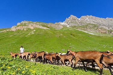 Goats herded towards mountain pastures, Vanoise National Park, near Pralognan-la-Vanoise, Savoie, France, June 2008.