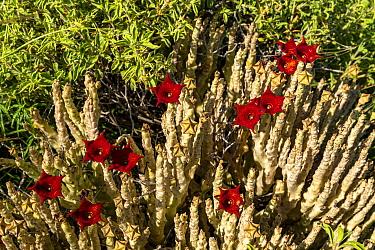 Caralluma socotrana in blossom, near lake Magadi, Kenya