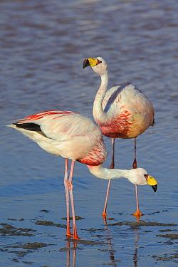 James's flamingo (Phoenicoparrus jamesi) at Laguna Colorado, Bolivia. March.