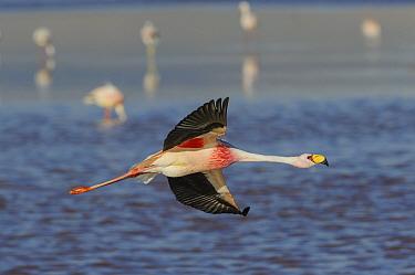 James's flamingo (Phoenicoparrus jamesi) in flight, at Laguna Colorado, Bolivia. March.