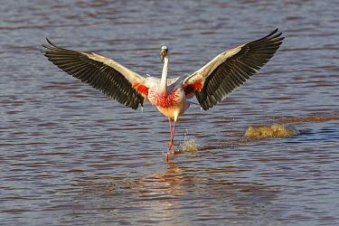 James's flamingo (Phoenicoparrus jamesi) walking wings spread, Laguna Colorado, Bolivia. March.