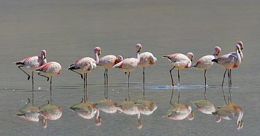 James's flamingo (Phoenicoparrus jamesi) reflected in water at Laguna Colorado, Bolivia. March.
