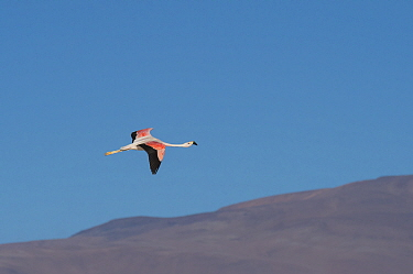 Andean flamingo (Phoenicoparrus andinus) in flight, , Laguna Colorado, Eduardo Avaroa Andean Fauna National Reserve, altiplano of Bolivia. March.