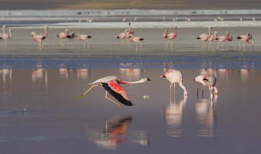 Andean flamingo (Phoenicoparrus andinus) runs across the water to take off , Laguna Colorado, Eduardo Avaroa Andean Fauna National Reserve, altiplano of Bolivia. March.