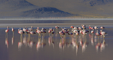 Andean flamingo (Phoenicoparrus andinus) flock standing in water, Laguna Colorado, Eduardo Avaroa Andean Fauna National Reserve, altiplano of Bolivia. March.
