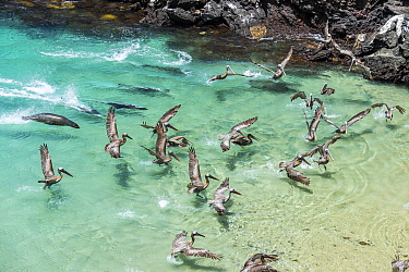 Galapagos sea lion (Zalophus wollebaeki) hunting cooperatively by driving Amberstripe scad fish (Decapterus moruadsi) from open sea to small cove, with Brown pelicans (Pelecanus urinator) and sharks o...