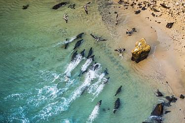 Aerial view of Galapagos sea lion (Zalophus wollebaeki) hunting cooperatively by driving Amberstripe scad fish (Decapterus moruadsi) from open sea to small cove. Bainbridge Rocks, Santiago Island, Gal...