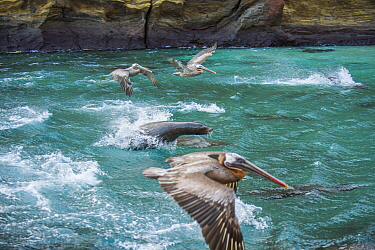 Galapagos sea lion (Zalophus wollebaeki) hunting cooperatively by driving Amberstripe scad fish (Decapterus moruadsi) from open sea to small cove, with Brown pelicans (Pelecanus urinator) opportunisti...