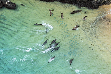 Aerial view of Galapagos sea lion (Zalophus wollebaeki) hunting cooperatively by driving Amberstripe scad fish (Decapterus moruadsi) from open sea to small cove, with Brown pelicans (Pelecanus urinato...