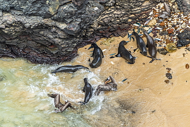 Aerial view of Galapagos sea lion (Zalophus wollebaeki) feeding on Amberstripe scad fish (Decapterus moruadsi) that they hunted cooperatively by driving from open sea to small cove, with Brown pelican...