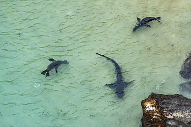 Aerial view of Galapagos sea lion (Zalophus wollebaeki) hunting cooperatively by driving Amberstripe scad fish (Decapterus moruadsi) from open sea to small cove, with Blacktip reef sharks (Carcharhinu...