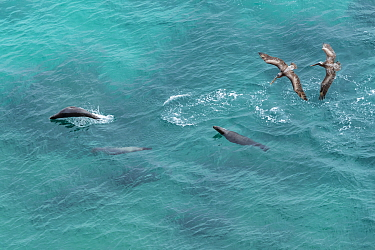 Galapagos sea lion (Zalophus wollebaeki) hunting cooperatively by driving Amberstripe scad fish (Decapterus moruadsi) from open sea to small cove, with Brown pelicans (Pelecanus urinator) following. B...