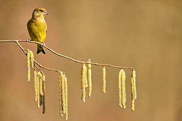 European greenfinch (Chloris chloris chloris) on branch with Hazel catkins (Corylus), Moselle, France, February.