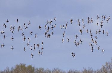 Black-tailed godwit (Limosa limosa) flock. Welney WWT Reserve, Peterborough, Norfolk, England, UK December.
