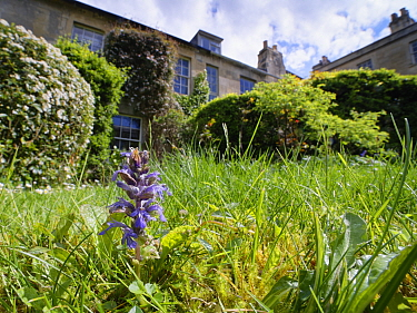 Bugle (Ajuga reptans) and Common daisies (Bellis perennis) in a garden lawn left unmown to allow wild flowers to bloom to support pollinating insects, Wiltshire, UK, May.