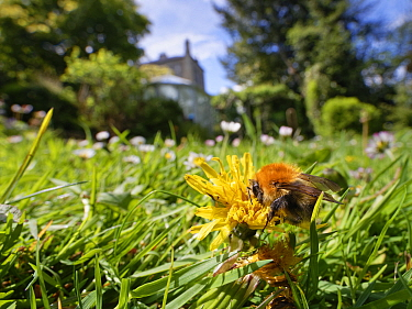 Common carder bumblebee (Bombus pascuorum) nectaring on a Dandelion (Taraxacum officinale) flowerhead among many Common daisies (Bellis perennis) on a lawn left unmown to allow wild flowers to bloom t...