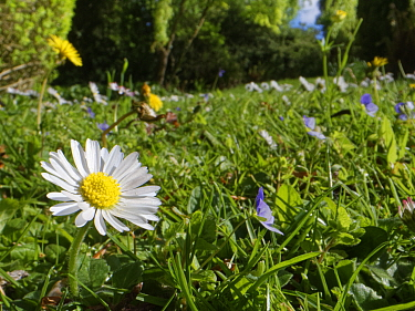 Dandelions (Taraxacum officinale), Common daisies (Bellis perennis) and Germander speedwell (Veronica chamaedris) flowering in a garden lawn left unmown to allow wild flowers to bloom to support polli...