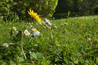 Dandelion (Taraxacum officinale) and Common daisies (Bellis perennis) flowering on a garden lawn left unmown to allow wild flowers to bloom to support pollinating insects, Wiltshire, UK, May.