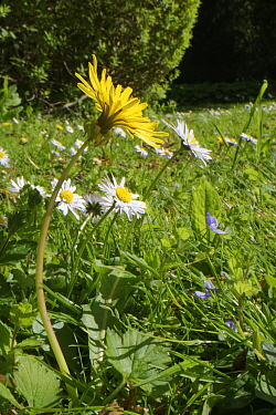 Dandelion (Taraxacum officinale) and Common daisies (Bellis perennis) flowering in a garden lawn left unmown to allow wild flowers to bloom to support pollinating insects, Wiltshire, UK, May.