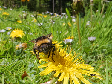 Early bumblebee (Bombus pratorum) visiting a Dandelion (Taraxacum officinale) flowerhead among many Common daisies (Bellis perennis) on a garden lawn left unmown to allow wild flowers to bloom to supp...