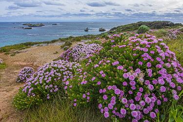 Cosy Corner with Banjine (Pimelea ferruginea) Leeuwin-Natureliste National Park, Western Australia, October 2020