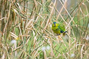 Orange-bellied parrot (Neophema chrysogaster), with bird band on leg, in grassy wetland. Point Wilson, Greater Geelong, Victoria, Australia