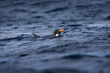 Snares penguin (Eudyptes robustus), swimming back to Snares Island. New Zealand