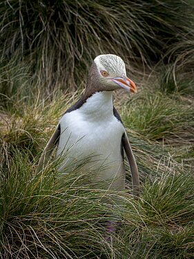 Yellow-eyed penguin (Megadyptes antipodes) emerging from the grasses on Enderby Island. Auckland Islands archipelago, New Zealand. December 2014