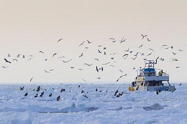 Tourist boat negotiating sea ice in Nemuro Strait - feeding Steller's (Haliaeetus pelagicus) and White-tailed eagles (Haliaeetus albicilla) with gulls and Jungle crows (Corvus macrorhynchos), Hokk...