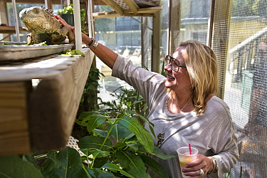A rescued Green iguana (Iguana iguana) in a climate-controlled enclosure being petted by Lenne who runs the Gulf Coast Iguana Sanctuary on the grounds of her hotel, Tampa Bay, Florida, USA. This iguan...