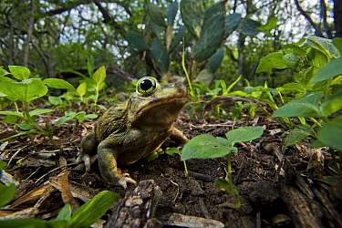 Couch's spadefoot toad (Scaphiopus couchii) on the forest floor, Texas, USA. May.