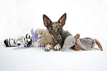 Studio portrait of a rescued Australian shepherd / cattle dog mix with a merle coat laying with her toys on white background.